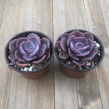 Dusty Rose Echeveria - 4 Inch | Plant | Harddy