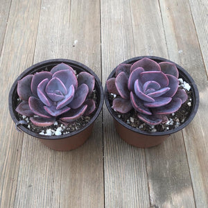 Dusty Rose Echeveria - 4 Inch - 2 Plants | Small Pack - Harddy.com