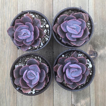 Dusty Rose Echeveria - 4 Inch - 4 Plants | Small Pack - Harddy.com