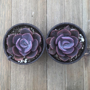 Dusty Rose Echeveria - 4 Inch | Small Pack | Harddy