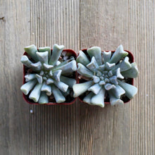 Echeveria Topsy Turvy - Mexican Hen and Chicks | Small Pack - Harddy.com