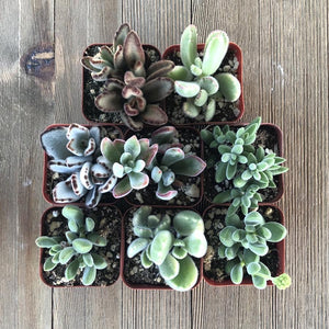 Fuzzy Succulent Assorted Pack - 2 inch | Pack | Harddy