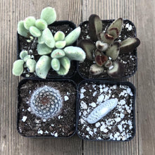 Fuzzy Frosty Spiky Succulent Collection | Pack | Harddy