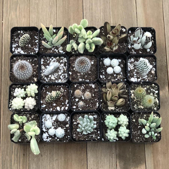 Fuzzy Frosty Spiky Succulent Collection - 20 Plants | Small Pack - Harddy.com