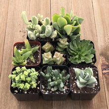 Gorgeous Green Succulent Assorted Collection | Pack | Harddy