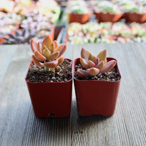 Graptosedum California Sunset - 2 inch | Small Pack - Harddy.com