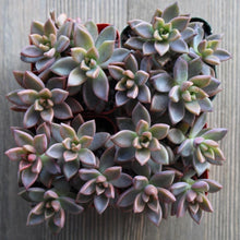 Graptosedum Vera Higgins - 2 inch | Small Pack - Harddy.com