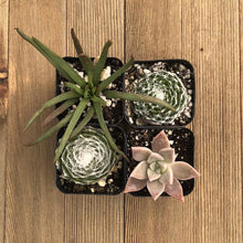 Halloween Succulents Assorted | Small Pack - Harddy.com