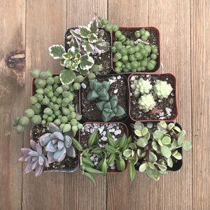 Hanging Succulents Assorted Collection | Pack | Harddy