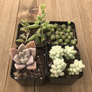 Hanging Succulents Assorted Collection | Small Pack | Harddy