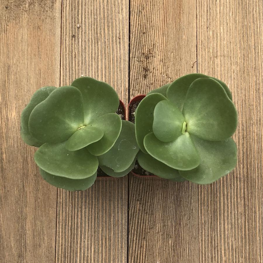 Hawaii Succulent - Portulaca molokiniensis - Ihi - 2 inch | Small Pack - Harddy.com