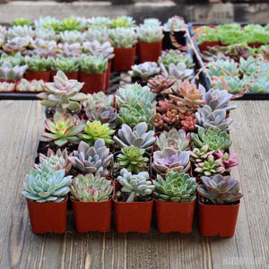 Assorted Rosette 2 inch Succulent Plants | Pack | Harddy