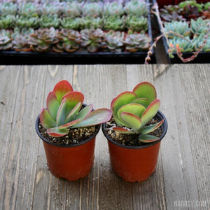 Kalanchoe luciae - Flapjack - Paddle Plant 4 inch | Small Pack -Harddy.com