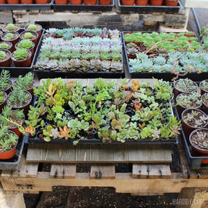 Succulent Plug and Play Pack - 105 Assorted | Pack | Harddy