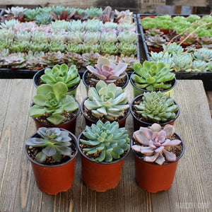 Echeveria Assorted Packs - 4 Inch | Small Pack | Harddy