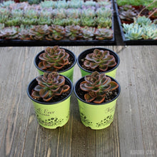 Echeveria Chroma 4inch Packs-Harddy.com