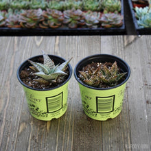 4inch Assorted Aloe Packs-Harddy.com