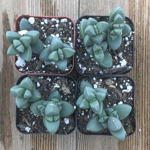 Ice Plant - Corpuscularia Lehmannii - 2 Inch | Plant | Harddy