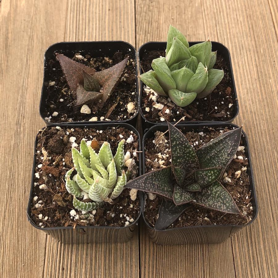 Indoor Succulents Low Light Succulents Office Home For