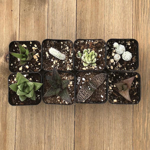 Indoor Succulents - Low Light Office Home Plants | Pack | Harddy