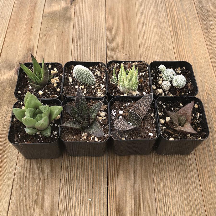 Indoor Succulents - Low Light Office Home Plants | Small Pack | Harddy