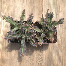Kalanchoe - Mother of Millions Hybrid - 2 inch | Plant | Harddy