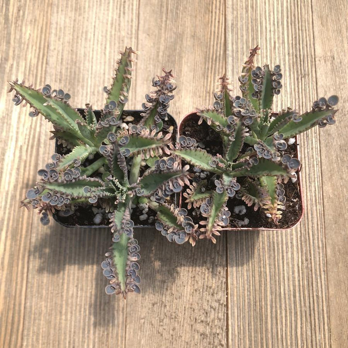 Kalanchoe - Mother of Millions Hybrid - 2 inch | Small Pack | Harddy