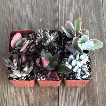 Killer Kalanchoe Succulent Collection | Pack | Harddy