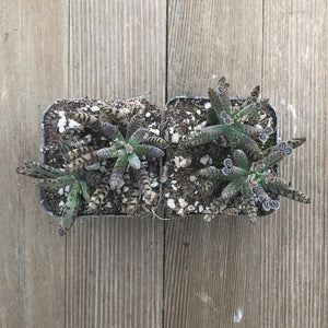 Kalanchoe Chandelier Plant - tubiflora | Plant | Harddy