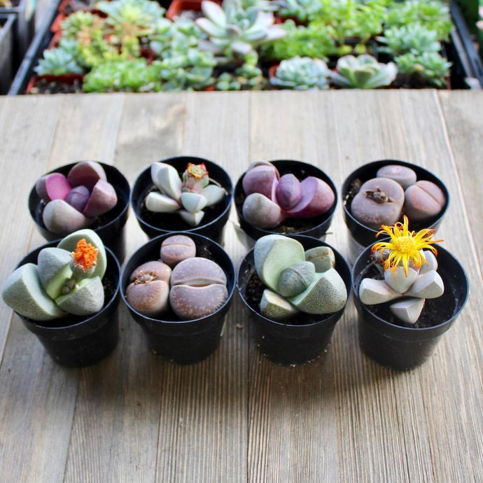 Lithops - Living Stones Colorful Assorted | Small Pack - Harddy.com
