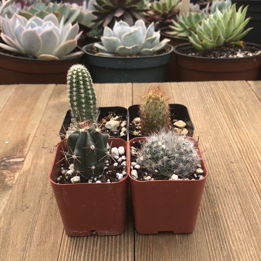 Assorted Cacti - Mini Spikey Cactus Packs - 2 inch | Small Pack - Harddy.com