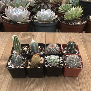 Assorted Cacti - Mini Spikey Cactus Plants | Pack | Harddy