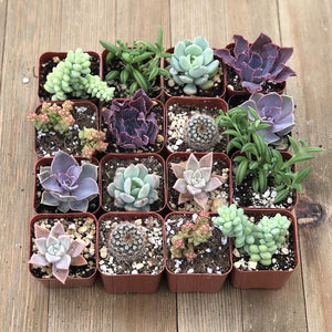 Mothers Day Everyday Succulents | Pack | Harddy