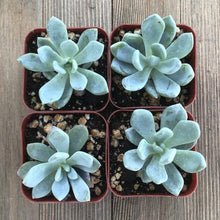 Pachyphytum Cheyenne - 2 inch | Small Pack - Harddy.com