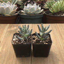 Pachyphytum Compactum | Plant | Harddy
