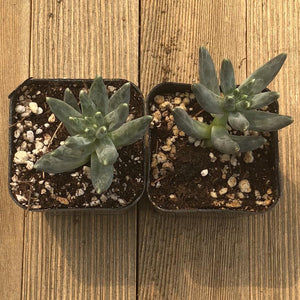 Pachyphytum Compactum - 2 inch | Small Pack - Harddy.com