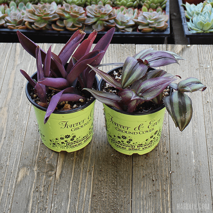 Pallida Succulent Plant Pack - 4 inch | Pack | Harddy