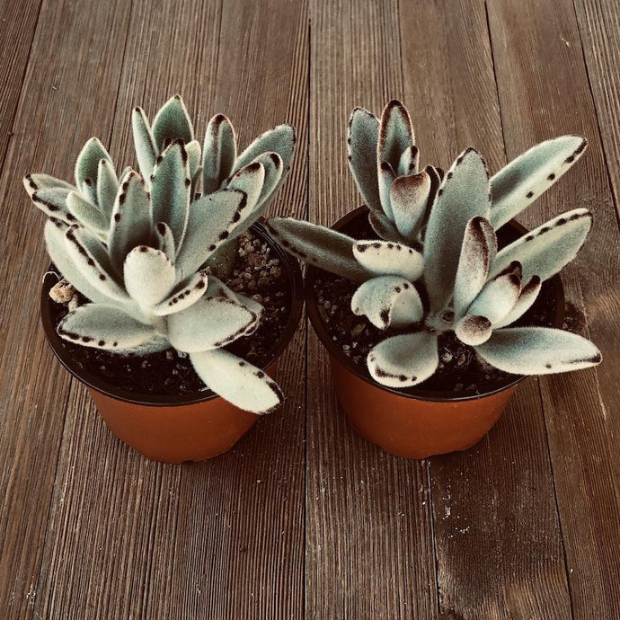 Panda Plant Kalanchoe tomentosa - 4 Inch | Plant | Harddy