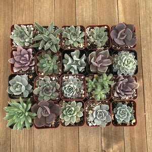 Pastel Succulent Collection - Assorted | Small Pack | Harddy