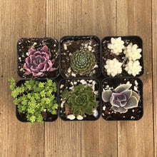 Pet Safe Non Toxic Succulent Collection - 6 Plants | Small Pack - Harddy.com