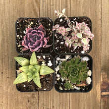 Pet Safe Non Toxic Succulent Collection - 4 Plants | Small Pack - Harddy.com