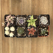 Pet Safe Non Toxic Succulent Collection - 8 Plants | Small Pack - Harddy.com