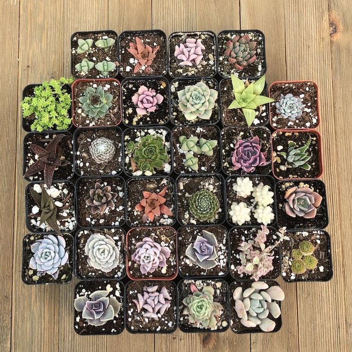 Pet Safe Non Toxic Succulent Collection - 32 Plants | Small Pack - Harddy.com