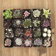 Pet Safe Non Toxic Succulent Collection - 20 Plants | Small Pack - Harddy.com