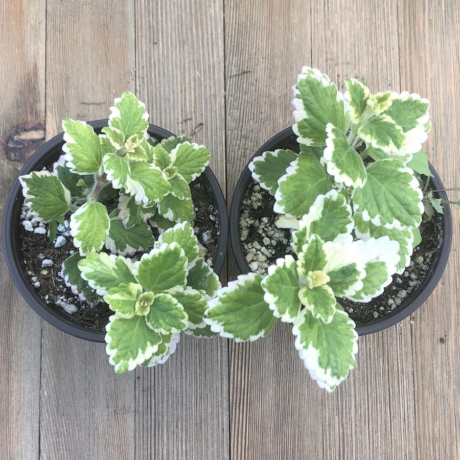 Variegated Mint Leaf - Plectranthus madagascariensis - 4 inch | Plant | Harddy