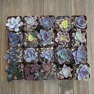Pretty Pink Succulent Assorted Collection | Pack | Harddy