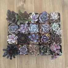 Perfect Purple Succulent Collection | Pack | Harddy