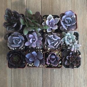 Perfect Purple Succulent Collection