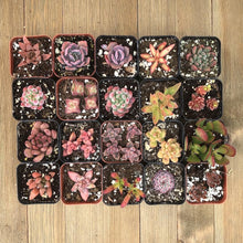 Radiant Red Succulent Assorted Collection - 20 Pack | Small Pack - Harddy.com