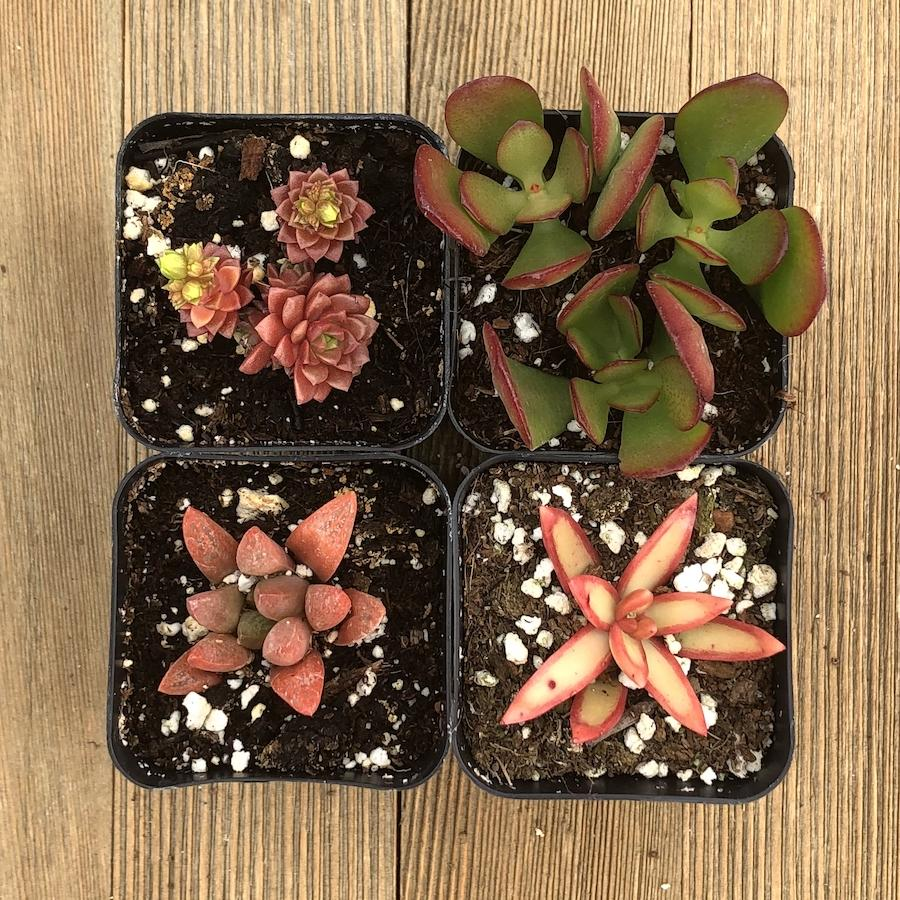 Radiant Red Succulent Assorted Collection - 4 Pack | Small Pack - Harddy.com